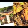 Pilze Mushrooms Russula integra Coprinus Micaceus