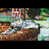 Katzenrassen cats Maine Coon Colourpoint Langhaar Blocksatz aus Guyana